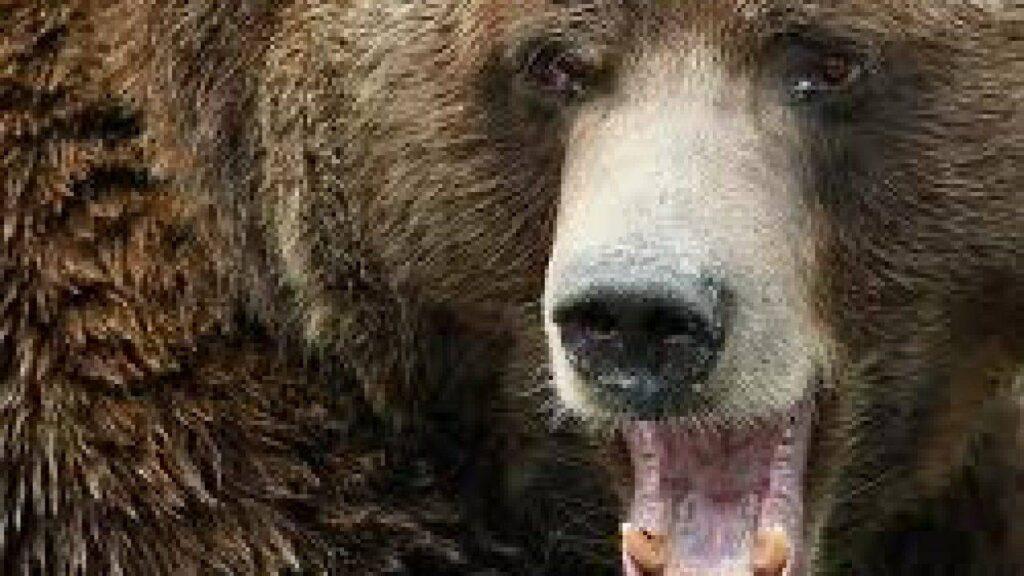 Grizzly sbrana ranger nel parco Yellowstone